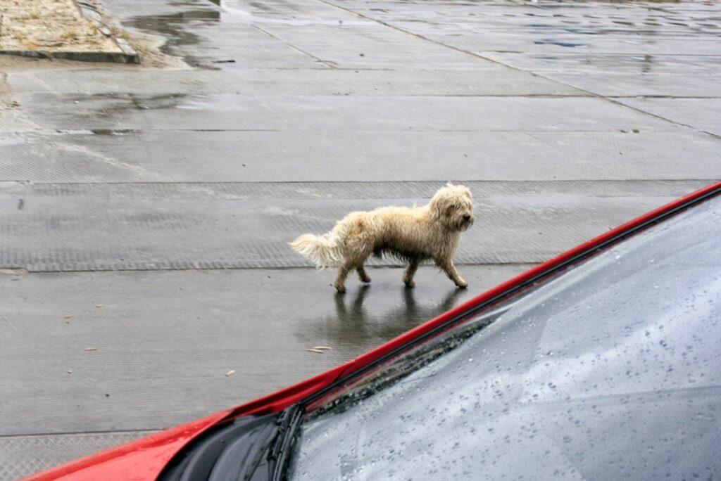 Encontrei um cãozinho perdido! E agora?